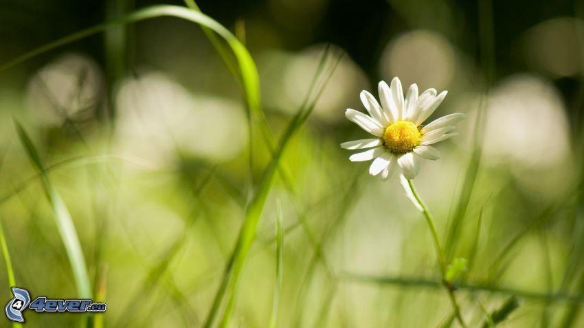 tusensköna, gräs