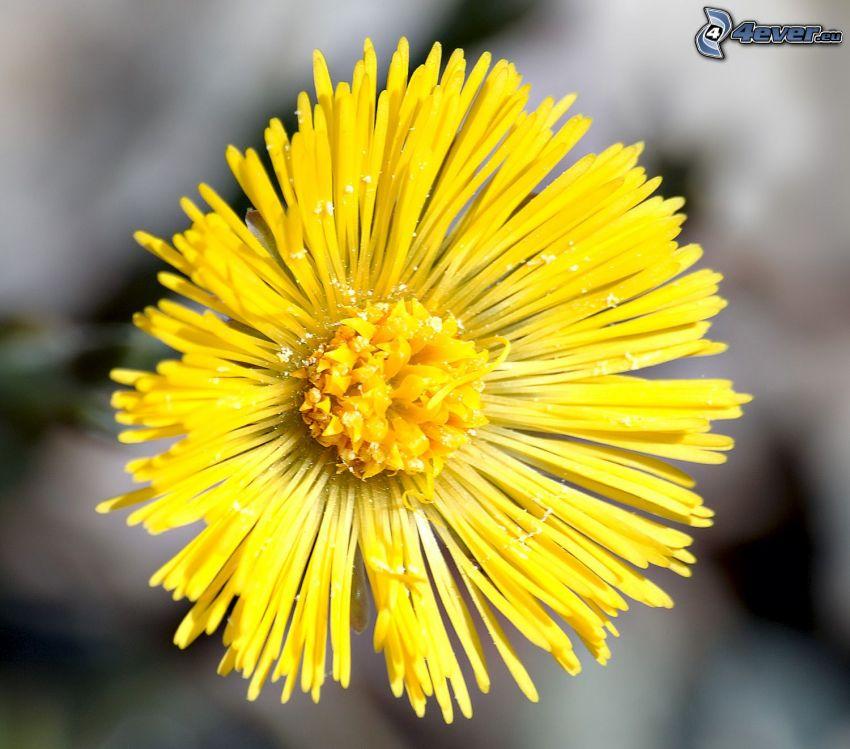 Tussilago, gul blomma
