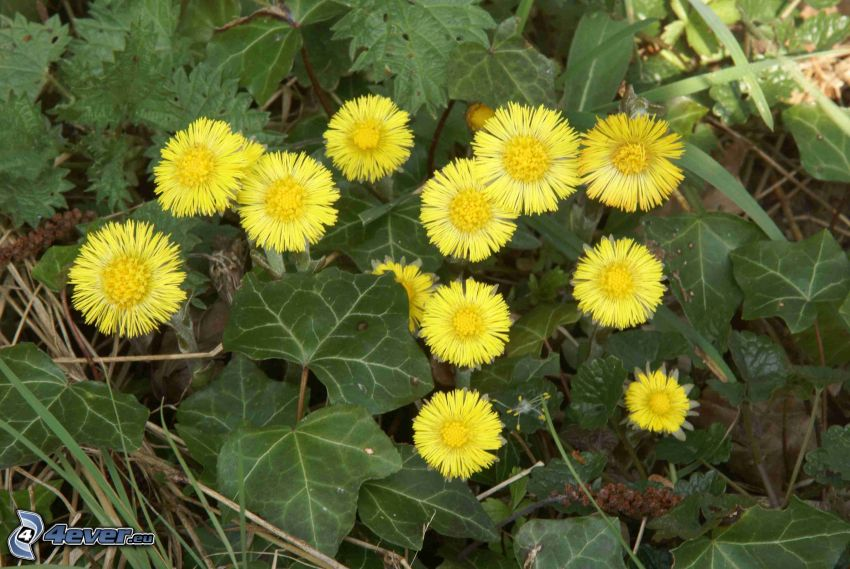Tussilago, gula blommor, gröna blad