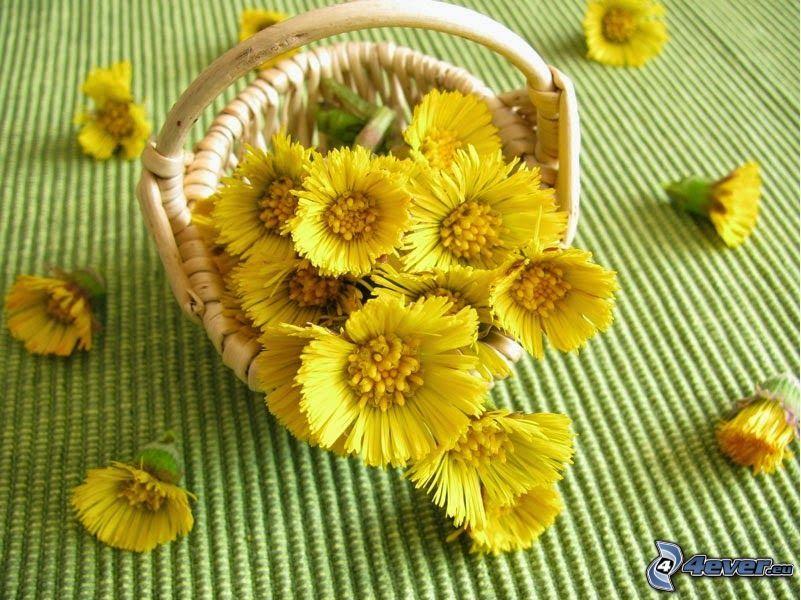 Tussilago, gula blommor, korg