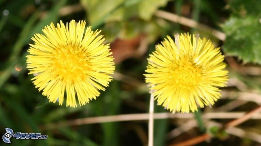 Tussilago, gula blommor