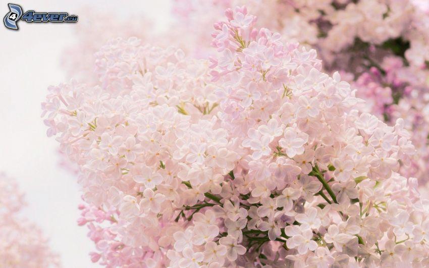 utblommad kvist, rosa blommor