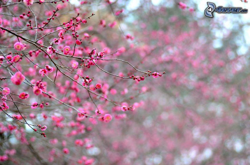 utblommat träd, rosa blommor