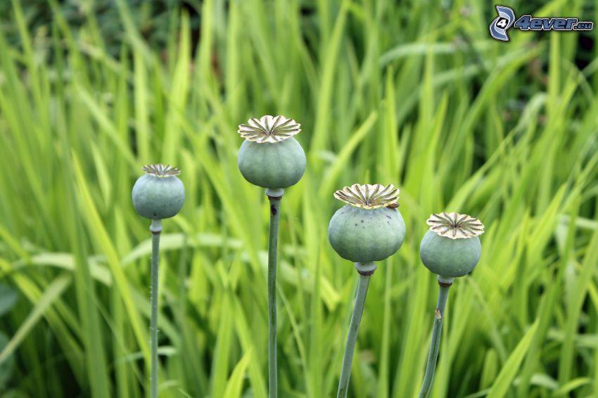 vallmoknoppar, gräs