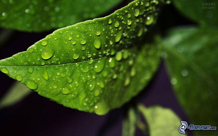 vattendroppar, dagg på blad