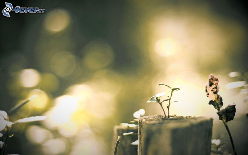 växt, stubbe
