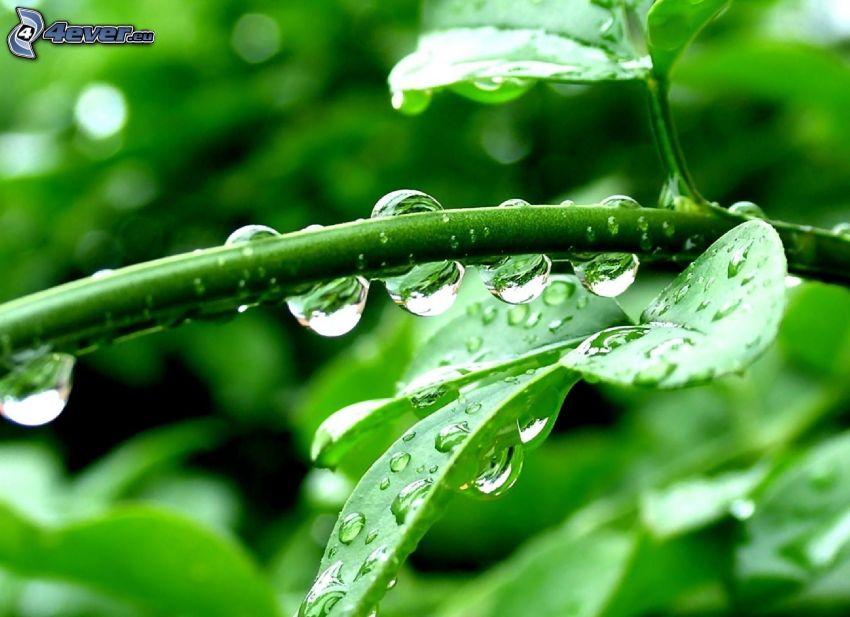växt, vattendroppar, makro