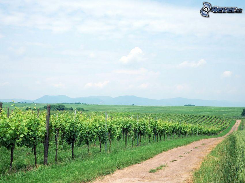 vingård, fältstig