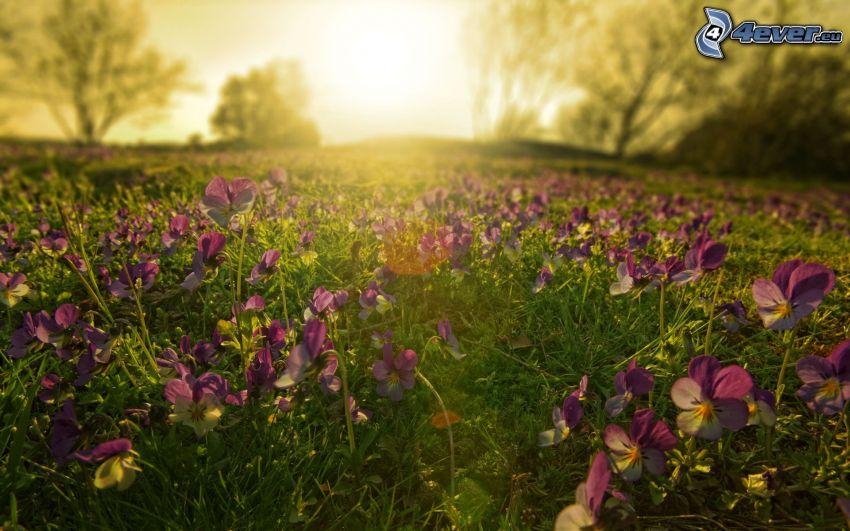 violer, solnedgång över äng