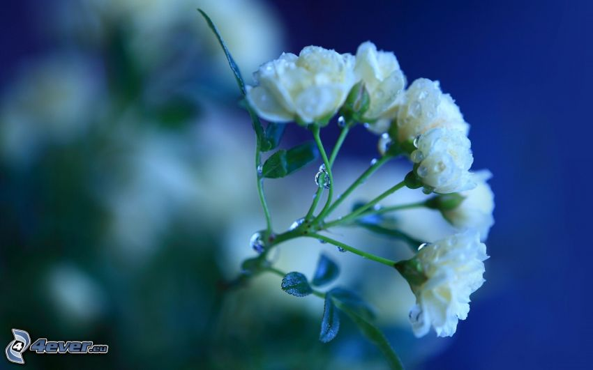 vit blomma, dagg på blomma