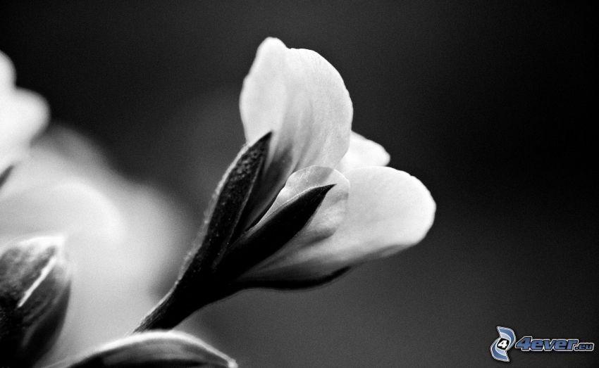 vit blomma, svartvitt foto
