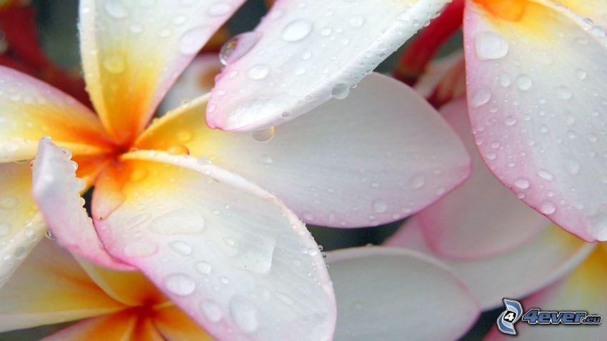vita blommor, dagg på blomma