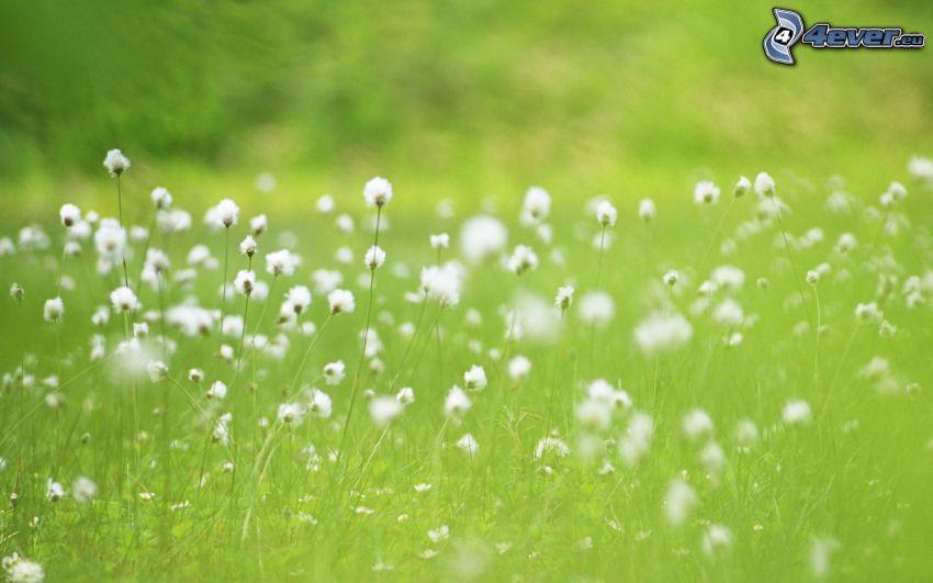 vita blommor, gräs