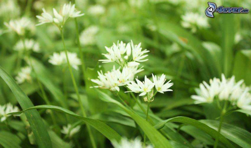 vita blommor, grässtrån