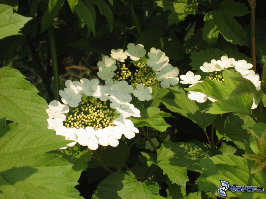 vita blommor, gröna blad