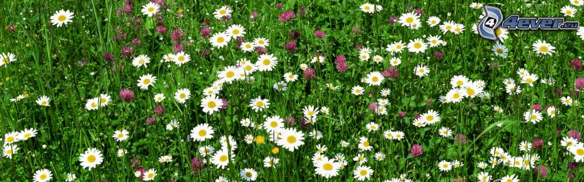 vita blommor, klöver, gräs