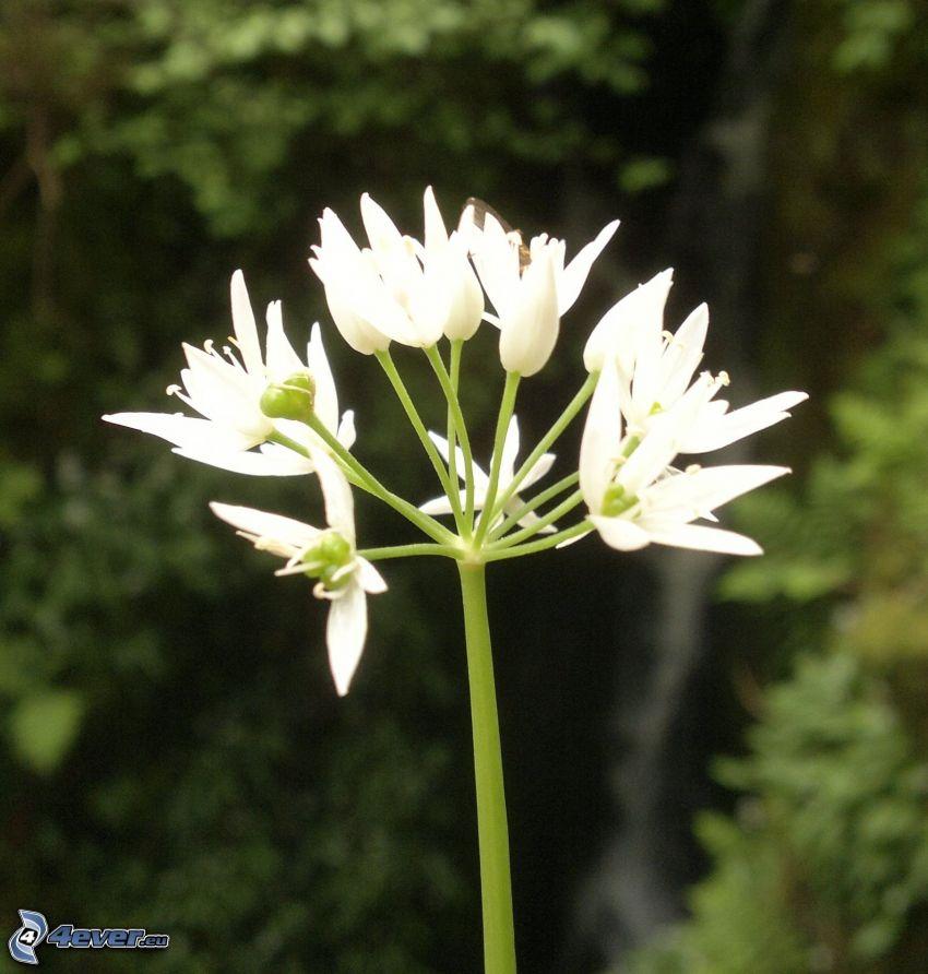vita blommor, ramslök