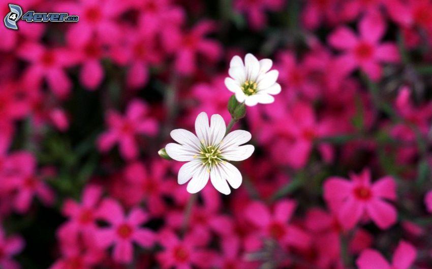 vita blommor, rosa blommor