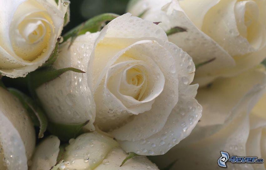 vita rosor, dagg på ros