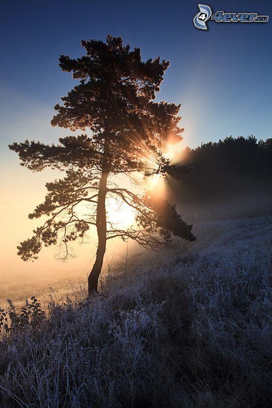vinter, ensamt träd, sol, fruset gräs