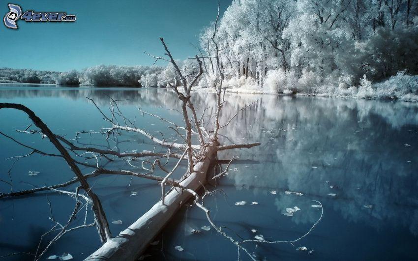 vinterfloden, snöklädda träd