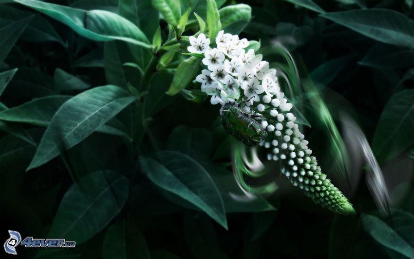 vit blomma, skalbagge