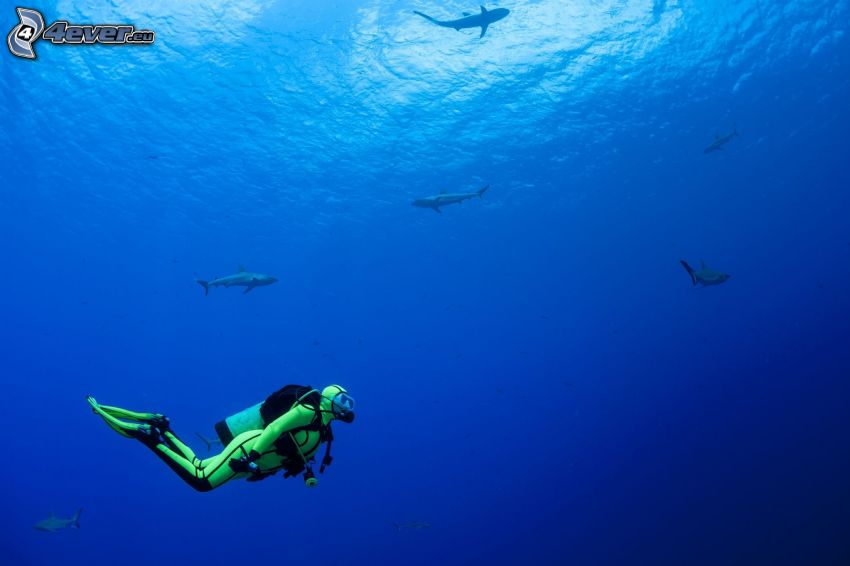 dykare, hajar