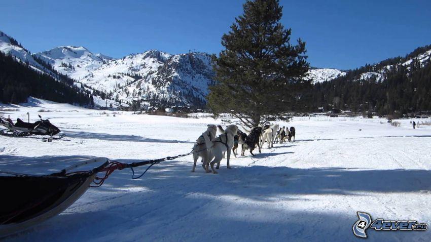 hundspann, Siberian Husky, snöig bergskedja