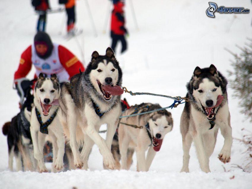 hundspann, Siberian Husky, lopp