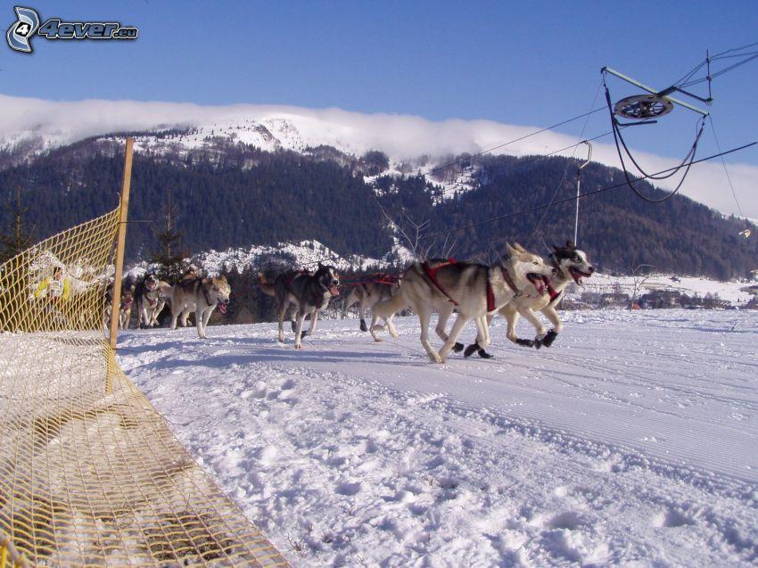 hundspann, Siberian Husky, skidlift, snö