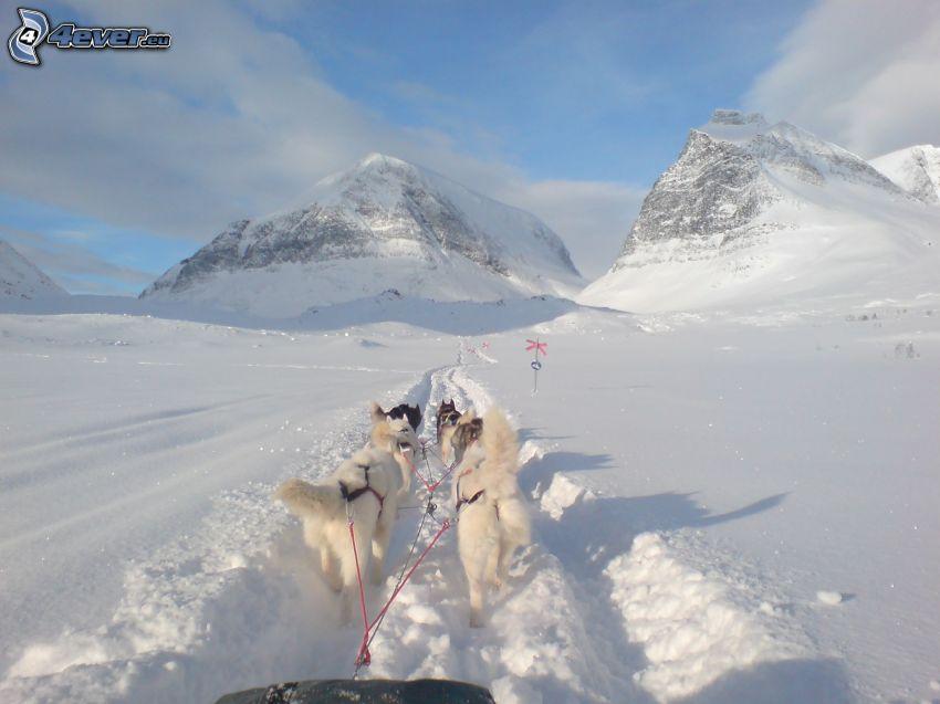 hundspann i fjällen, snö