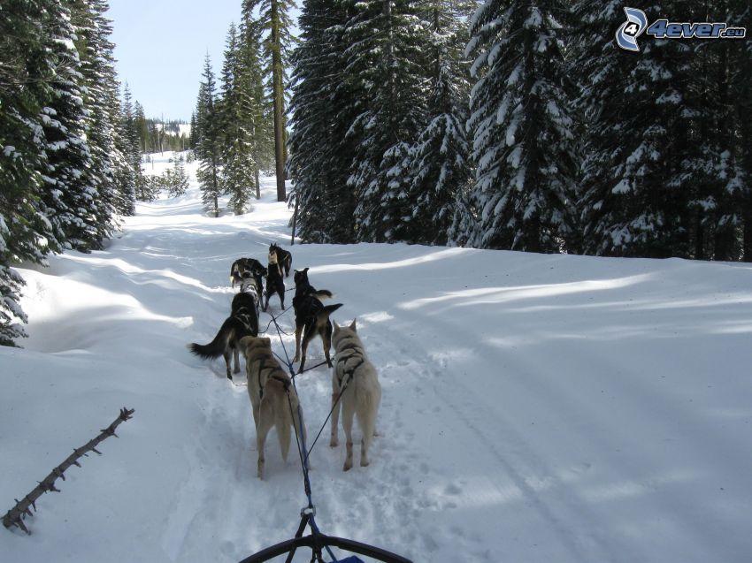 hundspann i skogen, snö