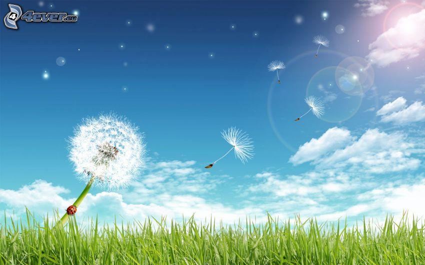 avblommade maskrosor, gräs, himmel, sommar