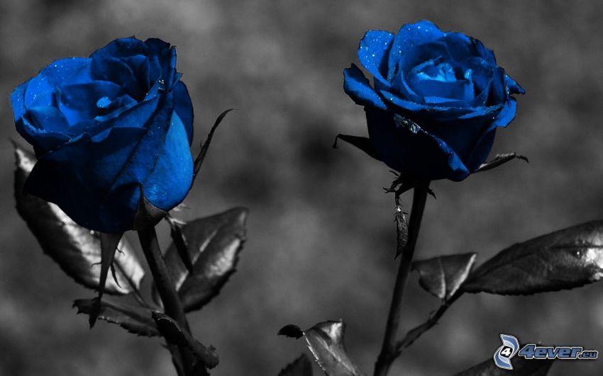 blå ros