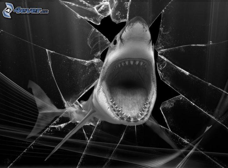 haj, käftar, krossat glas, svart och vitt
