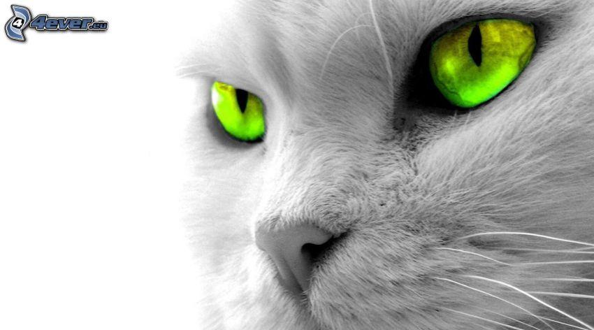 kattblick, gröna ögon