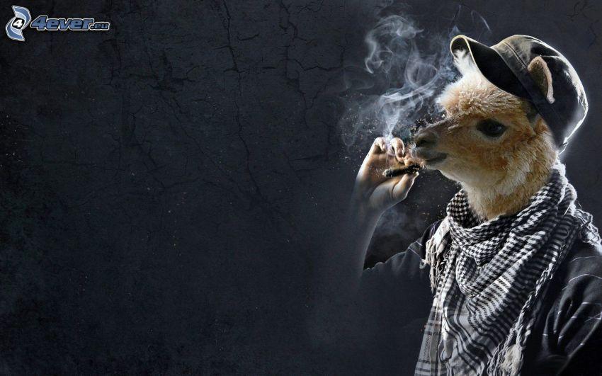 lama, cigarr