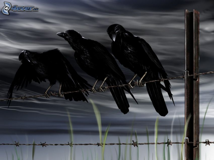 kråkor, stängsel, taggtråd