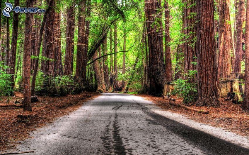 skogsväg, skog, sequoior, HDR