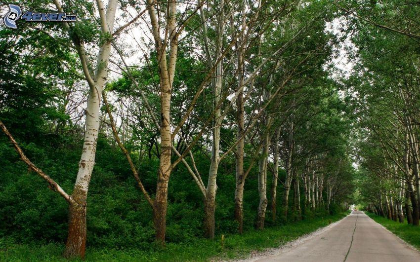 skogsväg, trädgränd, björkar