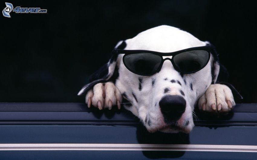 dalmatin, solglasögon