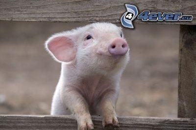 gris, trästaket