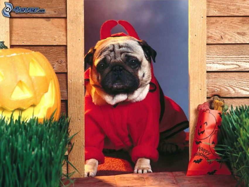 Halloween, mops, jack-o'-lantern
