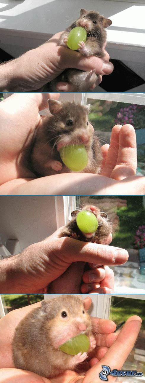 hamster, vindruvor, mat