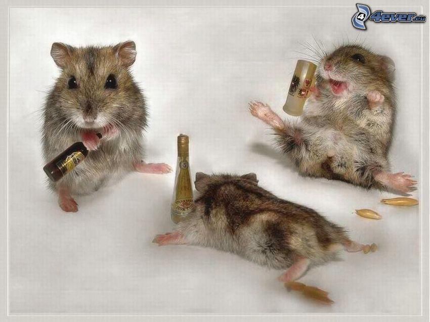 hamstrar, alkohol, roligt