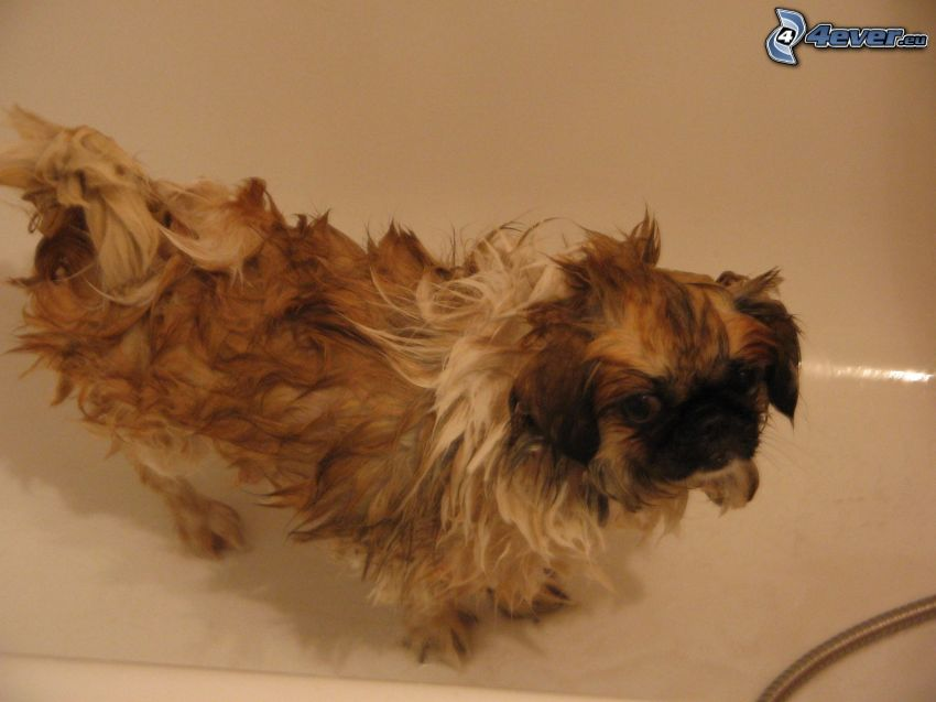 hund i badkar, dusch