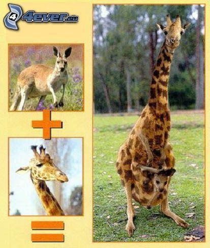 hybrid, känguru, giraff