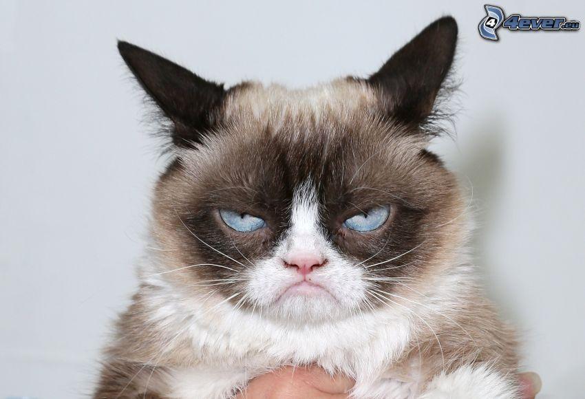 katt, blick, blå ögon