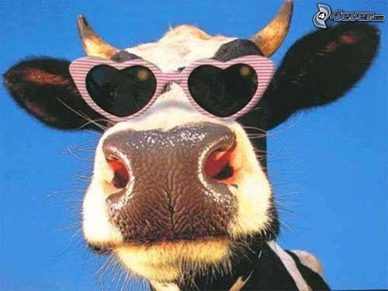 ko, solglasögon, djurläpp, horn