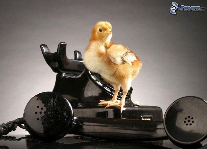 kyckling, telefon